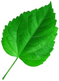 Image result for hibiscus leaves