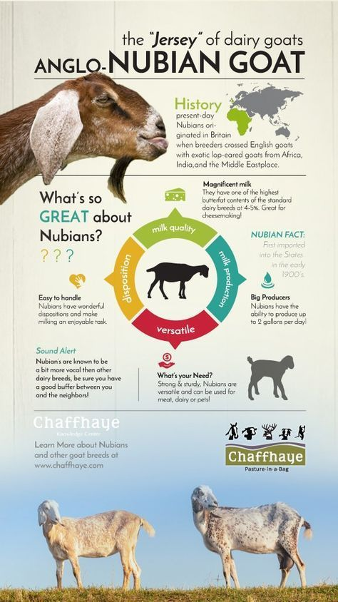Nubian Goat Facts ~ This is why I LOVE Nubians. :)