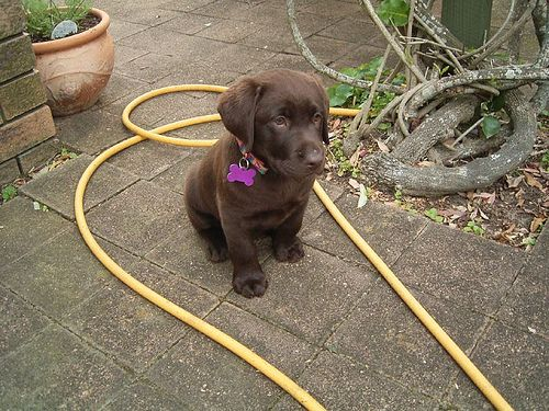 I Want A Chocolate Lab That Stays Small Forever Labs