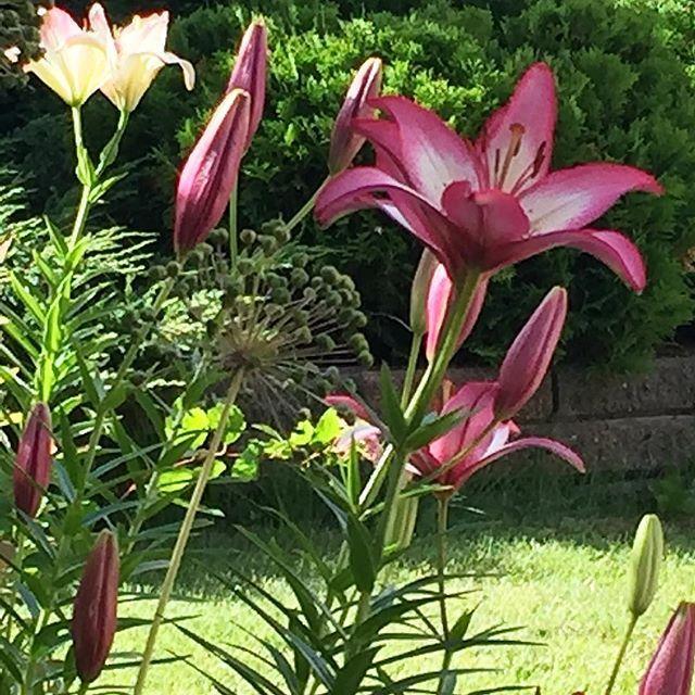 Liljat kukassa #liljat #lilja #lilium #liliums #fleurdelis #lily #gardening #gardeningisfun #ilovemyflowers #trädgård #puutarhassa #puutarhaelämää #trädgårdsglädje #kesä #kesäkukat #summertime #sommarblommor