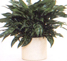 breathe easy national home gardening club indoor plants that purify the air - Home Gardening Club