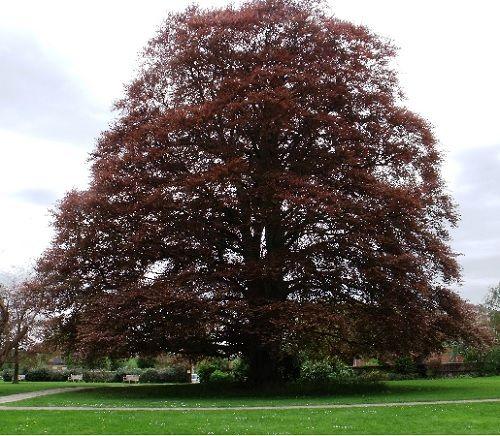 Гороскоп друидов дерево Бук   Зодиак кельтов. Люди рожденные под знаком Бука 22 декабря в день зимнего солнцестояния