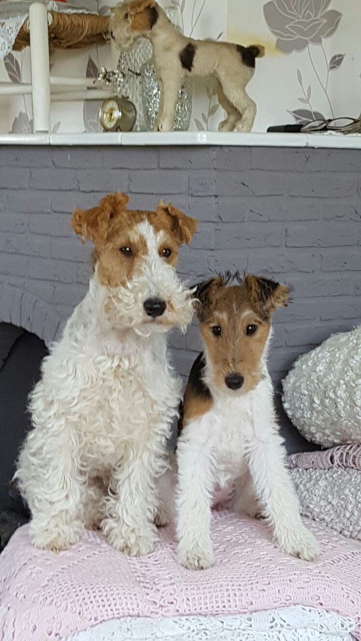 418 best Fox Terrier images on Pinterest | Wire fox terriers ...