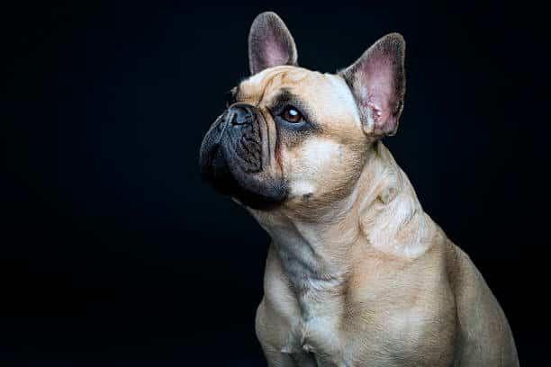 ✔️ Razas de perros pequeños - Listado completo, comparativa y consejos