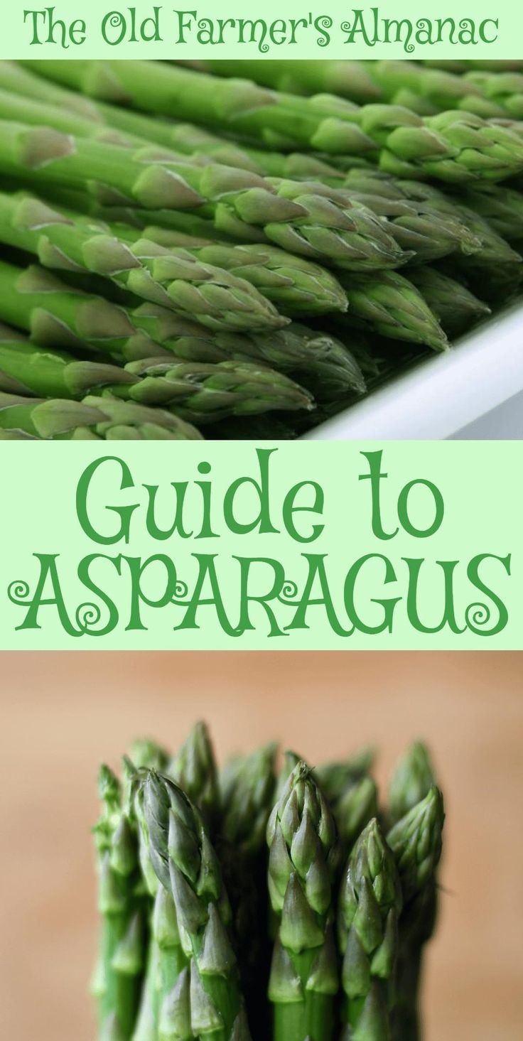 The complete Old Farmer's Almanac guide to Asparagus: How to plant, raise, cultivate, harvest, and prepare Asparagus! Available now at Almanac.com.