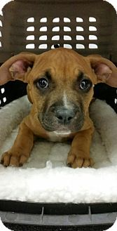 San Pedro, CA - Boxer/American Pit Bull Terrier Mix. Meet Xena, a puppy for adoption. http://www.adoptapet.com/pet/13269554-san-pedro-california-boxer-mix