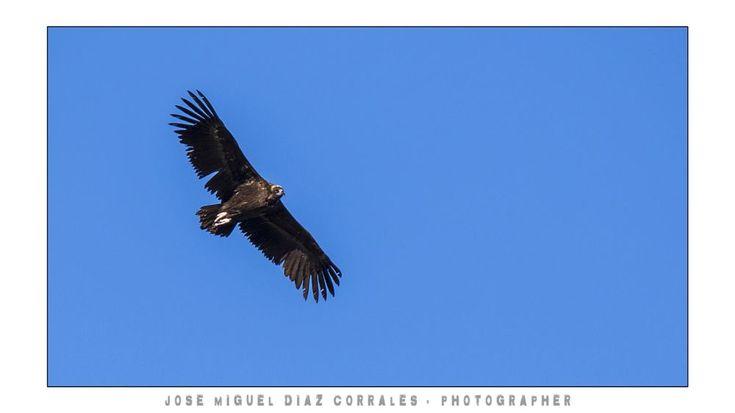 Buitre negro, black vulture, Aegypius monachus. by Josemigueldiazcorrales