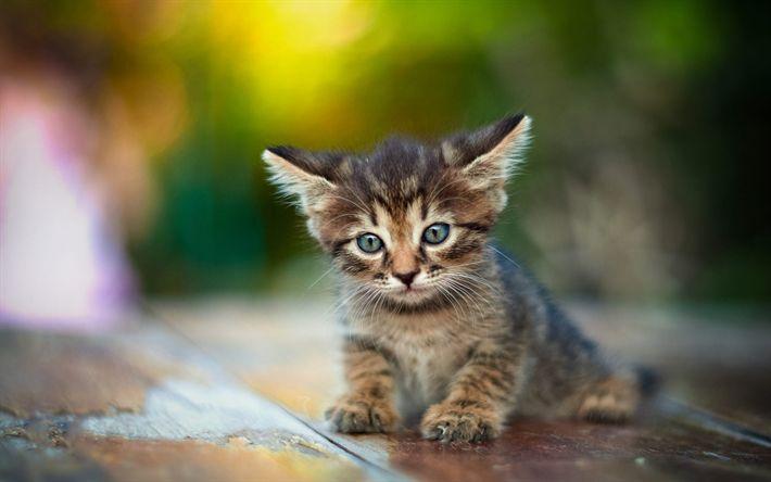 Download wallpapers small kitten, long ears, cute animals, little cats, gray kitten