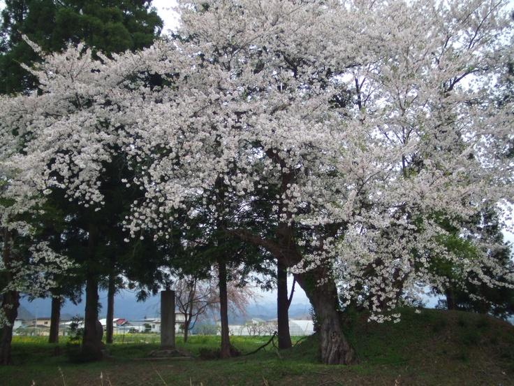 Sakura in Yamagata pref where is located in north east Japan.