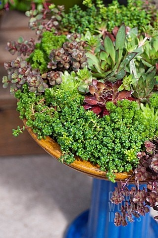 Succulents in a birdfeeder or shallow bowl. Nice color combo and mix.Gardens Ideas, Colors Combos, Blue Birdbaths, Birdbaths Planters, Color Combos, Bird Baths, Birds Bath, Shallow Bowls, Succulent Planters