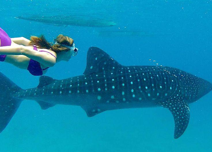 mayan tour whale shark swimming