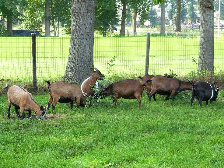 Dwerggeiten - Pygmy goat - Wikipedia, the free encyclopedia