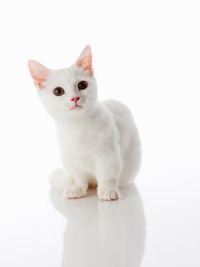 small cat breeds - #singapura - See more stunning picture of Singapura Cat Breeds at Catsincare.com!