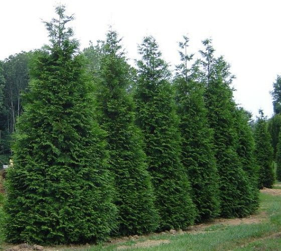 1000 ideas about privacy trees on pinterest arborvitae tree thuja green giant and fast growing. Black Bedroom Furniture Sets. Home Design Ideas