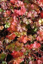 Geranium sanguineum Apfelblüte, Herbstfärbung