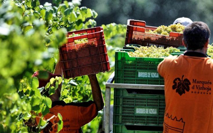 Bodegas Marqués de Vizhoja inicia su vendimia con la previsión de rebajar sólo en un 20% la cifra recolectada en el 2011