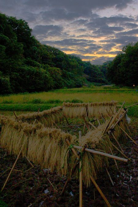 Drying rice in Kanagawa Photo by Filippo Scarselli � National Geographic Your Shot