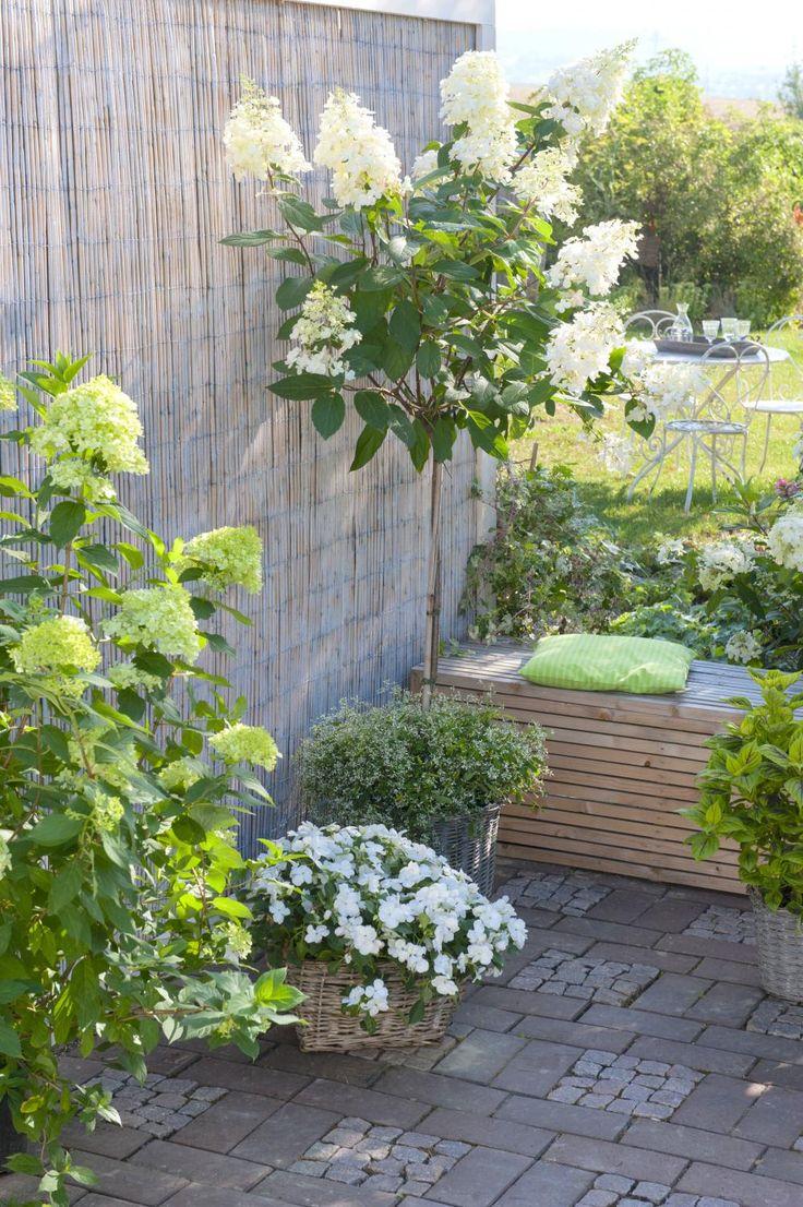 In Augenhöhe präsentiert die Rispen-Hortensie 'Pinky Winky' ihre Blüten als Hochstämmchen. Dazu passt Fleißiges Lieschen im Korb