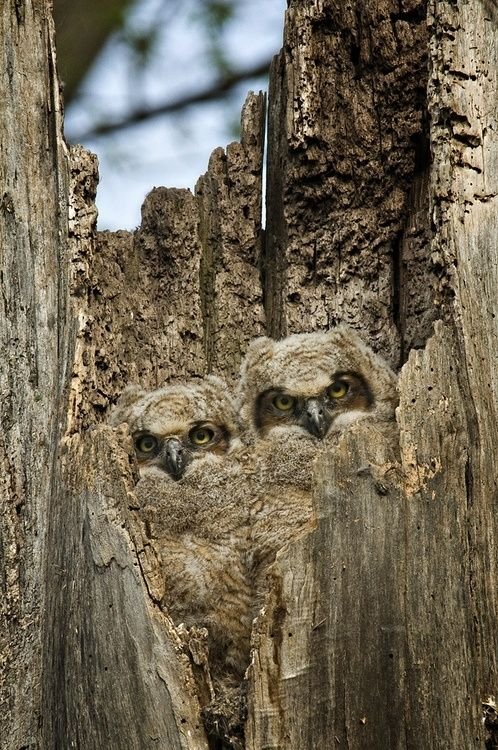 Camouflaged Owls   Most Beautiful Pages