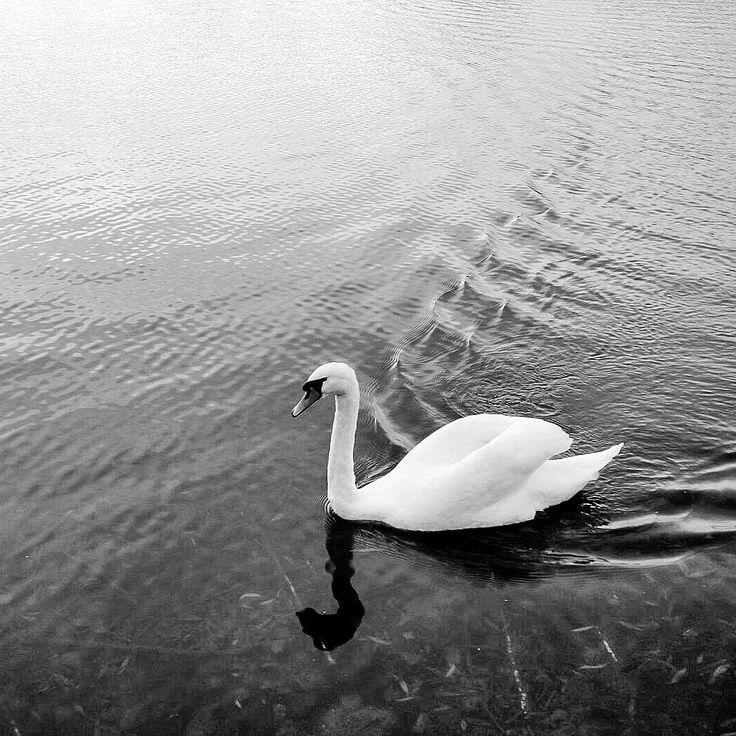 Schwanensee Oper Halle #swan #black #white #gans #schwan #see #sea #blackandwhite #hallesaale #schwanensee #ballett #dance #vögel #wasser