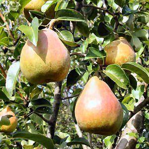 Pereira e peras. 111405450-french.alibaba.com