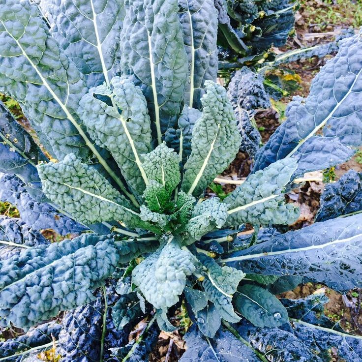 "Have you ever tried the ""black cabbage""? It 's great with new oil!"