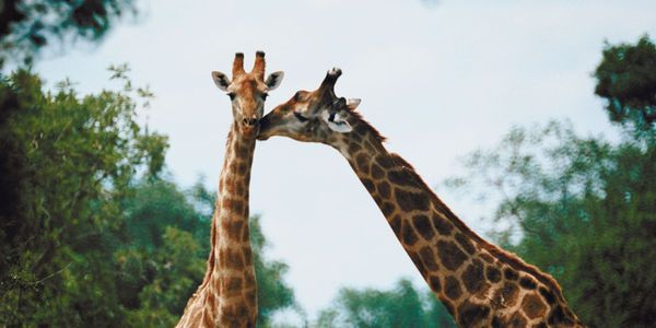 According to the International Union for the Conservation of Nature (IUCN), giraffe populations have... (5535 signatures on petition)