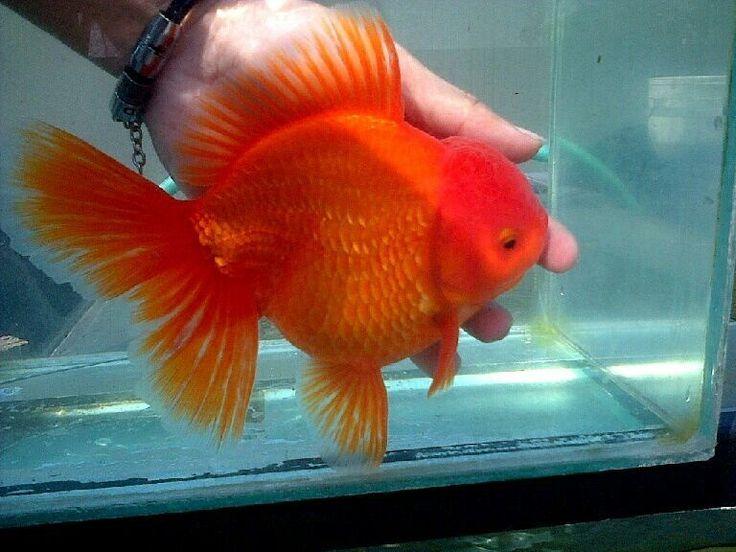 Oranda Gold Fish 33