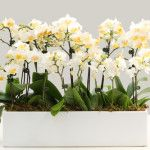 Simple Orchid Gift Arrangement by theorchidcollection shop.
