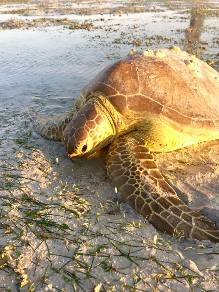Green #Turtle near our #seagrass #monitoring site on Sat morning. Turtles can eat 2kg of seagrass daily #RoebuckBay #Broome #BroomeSeagrass