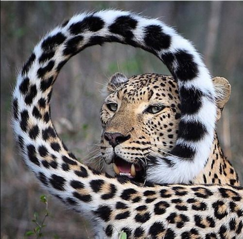 The tail frame effect what an awesome big cat ❤