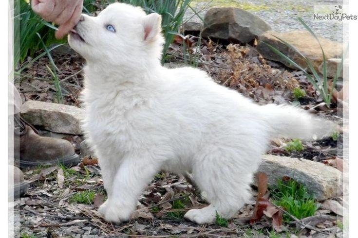 AMAZING WOLF CROSS | Wolf Hybrid puppy for sale near Las Vegas, Nevada | b313161f-7e11