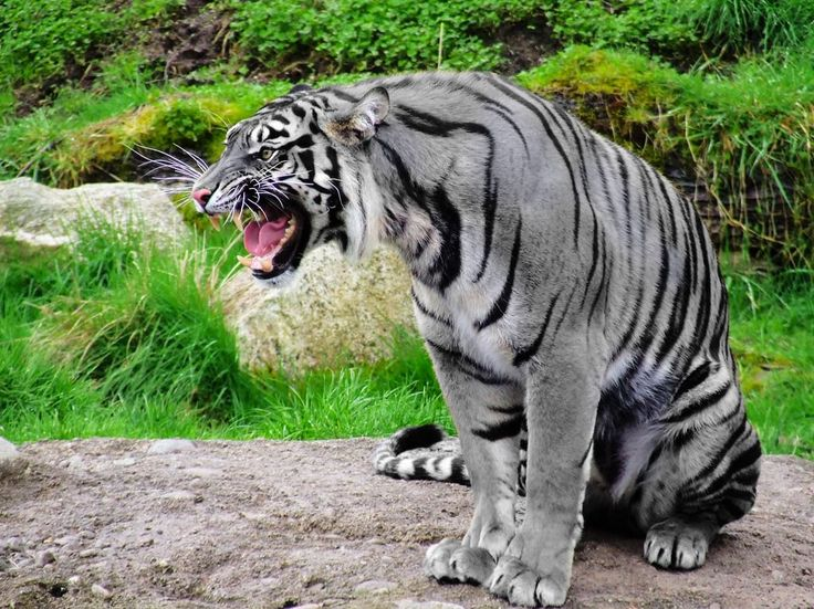 This is a rare Maltese Tiger, aka Blue Tiger.♥♥The Maltese tiger, or blue tiger, is a reported but unproven coloration morph of a tiger, reported mostly in the Fujian Province of China. It is said to have bluish fur with dark grey stripes. Most of the Maltese tigers reported have been of the South Chinese population.
