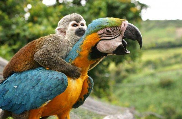 Выжить в мире животных порой не просто, поэтому неудивительно, что некоторые звери пытаются приспособиться, а именно — бесплатно прокатиться за счет других. Ленивые создания используют в качестве транспортных средств представителей других видов животных. Как ни странно, кажется, что «перевозчиков» это нисколько не беспокоит. Жаба во время езды на спине жука, Самба, Индонезия. Скворца подвозит импала …