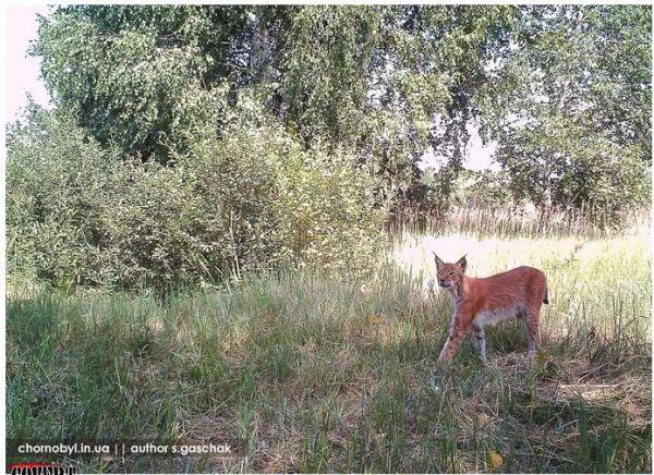 Зона отчуждения в Чернобыле превратилась за последние тридцать лет после страшной ядерной аварии в заповедник, который кишит лосями, оленями и волками. Природа…