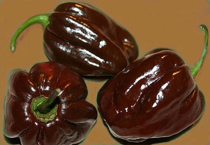 Habanero Chocolate (o Black Congo | Best Pepper and ...