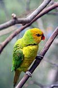 Exotische vogels, exotische vogels foto's, Trichoglossus euteles - foto's