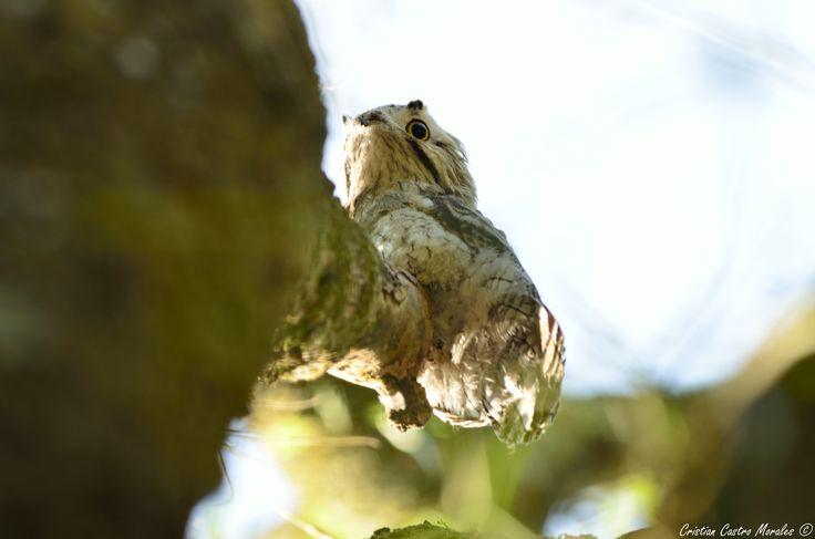 """Common Potoo (Nyctibius griseus) - Después de mucho tiempo de buscar esta ave y a pesar que no es el retrato que me habría gustado hacerle, les quiero enseñar este majestuoso animal por el cual """"escale"""" uno de los árboles de la U para poderlo retratar.  Esta ave presenta un canto reconocido por ser uno de los sonidos más fantasmales de los trópicos americanos. Su nombre Nyctibius significa de vida nocturna y deriva de las raíces griegas nukti = nocturno y bios = vida. Su epíteto griseus…"""