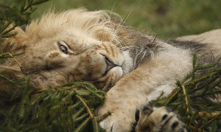 108 best images about Lions & Tigers & Big Cats, Oh My! on ...