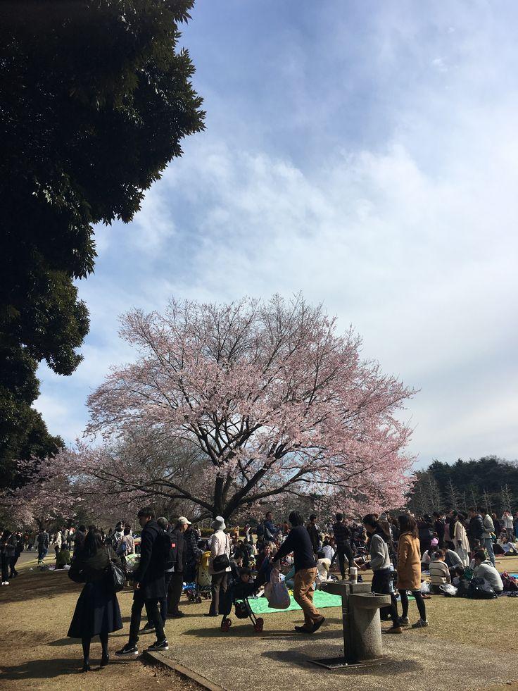 Cherry blossoms  #shinjukugyoengarden