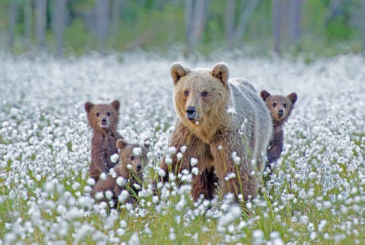 15-maes-ursas-ensinando-seus-filhotes-ursos-6
