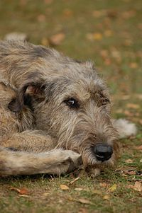 Irish Wolfhound <3