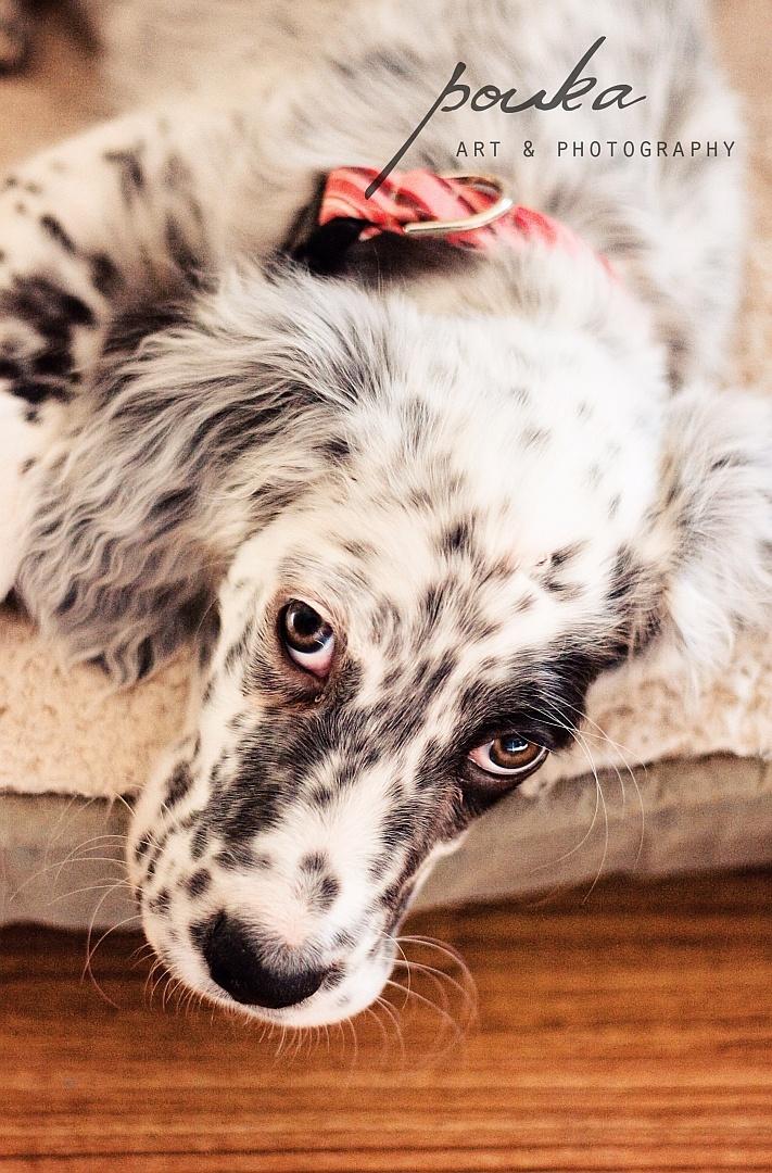 English Setter puppy - Let Me Sleep. Pet Photography Portrait.