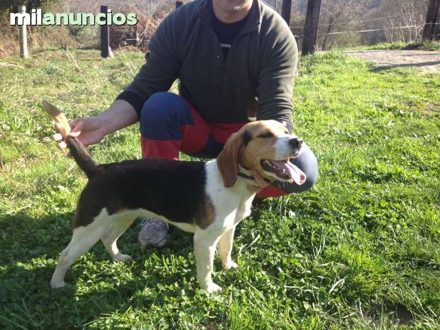MIL ANUNCIOS.COM - Beagles americano. Compra-venta de beagles beagles americano. Anuncios con fotos de beagles beagles americano. Perros beagle beagles americano