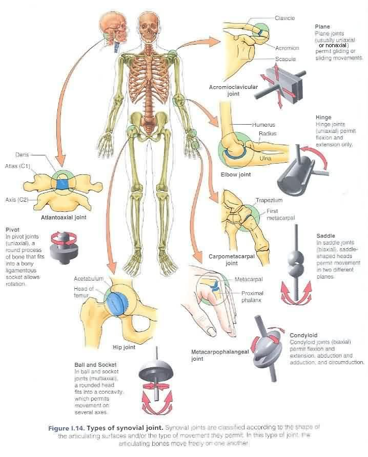 A diagram of joints human body schematic wiring diagram 8 best joints images on pinterest synovial joint human anatomy rh pinterest com movable joints in the body in the human body diagram of hip joint ccuart Gallery