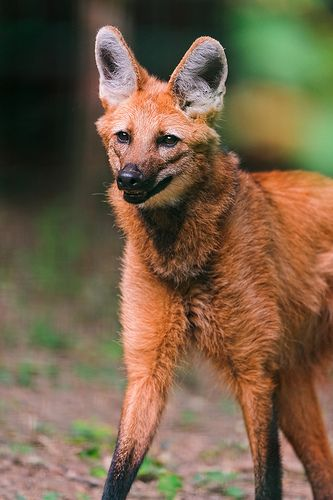 Standing calm maned wolf