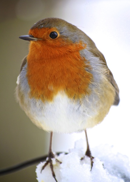 my favorite bird - the red robin.