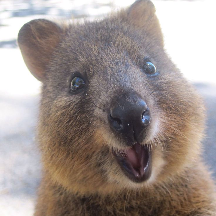 Cutest quokka ️ | Quokka | Pinterest | Happy, Quokka and ...