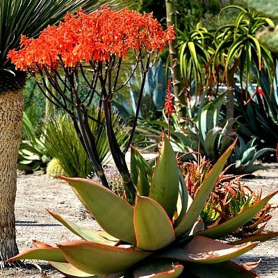 Coral Aloe is one of the prettiest succulents in my garden. The smooth blue leaves are edged with pink which seems to light up at sunset. About 2 feet in diameter, this is a tidy, compact handsome pla