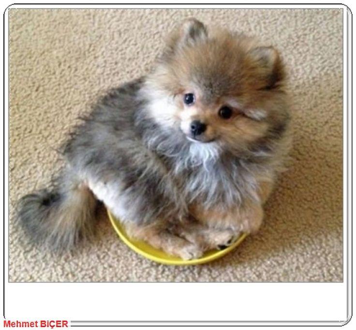 Charlie Pomeranian